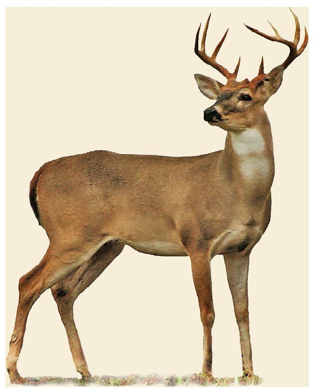 Deer Deer Oklahoma Department of Wildlife Conservation
