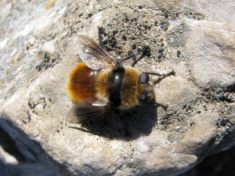 Deer botfly - Alchetron, The Free Social Encyclopedia
