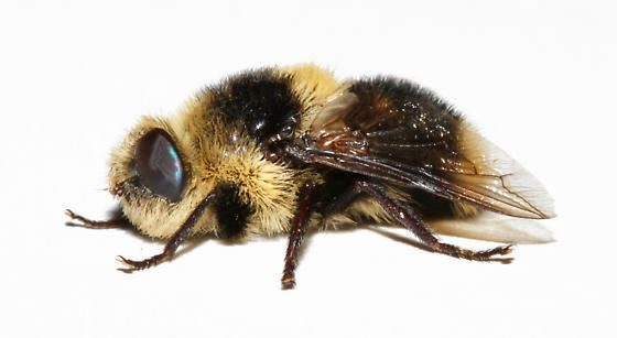 Deer botfly Deer Bot Fly Cephenemyia jellisoni BugGuideNet