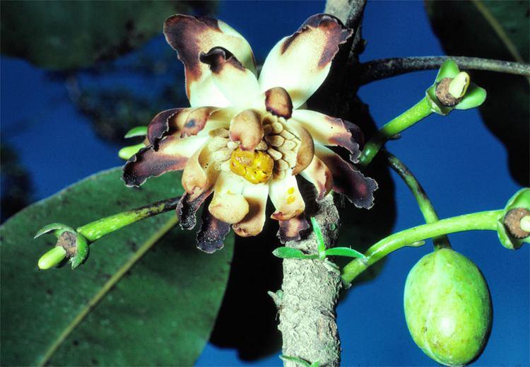 Degeneriaceae Degeneria vitiensisjpg