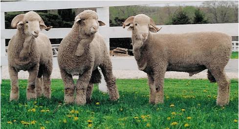 Delaine Merino DelaineMerino Sheep Sheep Breeds Raising Sheep