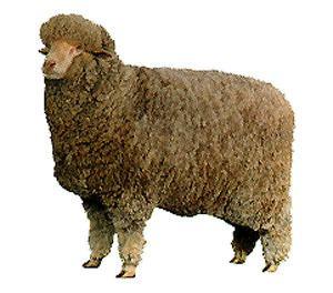 Delaine Merino Breeds of Livestock Delaine Merino Sheep Breeds of Livestock