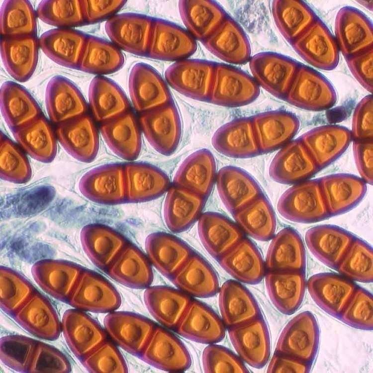 Delitschia fungimyspeciesinfositesfungimyspeciesinfofi