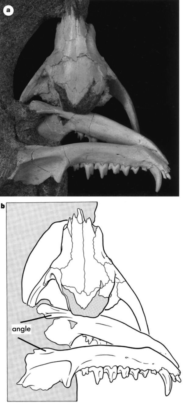 Deltatheridium Figure 2 Implications of Deltatheridium specimens for early