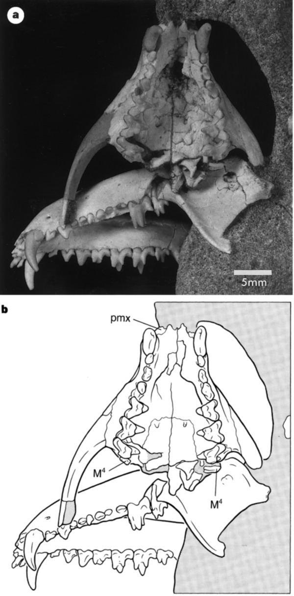 Deltatheridium Figure 1 Implications of Deltatheridium specimens for early