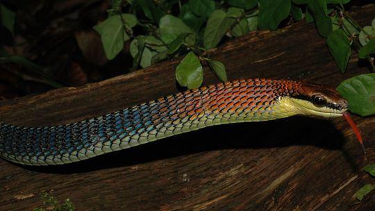 Dendrelaphis Dendrelaphis kopsteini The Reptile Database