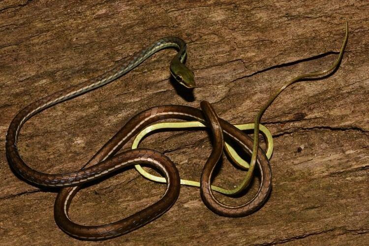 Dendrelaphis Dendrelaphis bifrenalis Wikipedia