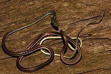 Dendrelaphis bifrenalis httpsuploadwikimediaorgwikipediacommonsthu
