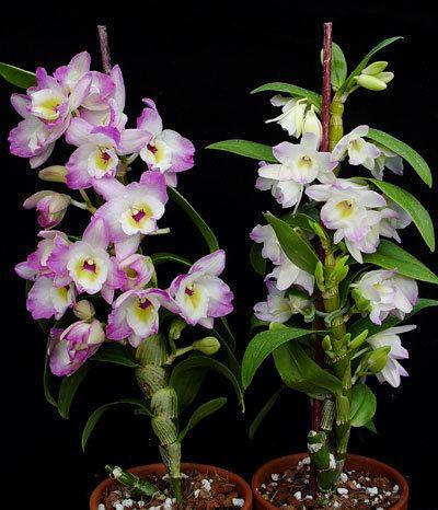 Dendrobium Nobile Type Dendrobium Care