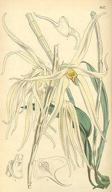 Dendrobium amboinense httpsuploadwikimediaorgwikipediacommonsthu