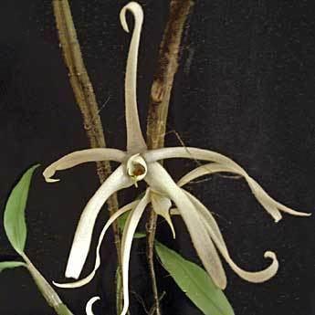 Dendrobium amboinense Dendrobium amboinense