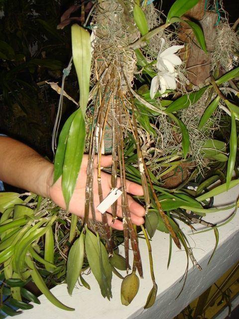 Dendrobium amboinense IOSPE PHOTOS