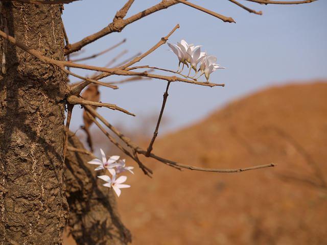 Dendrobium barbatulum florakarnatakacesiiscernetinhjcb2imgfieldD