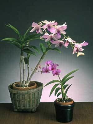 Dendrobium wwwaosorgAOSmediaContentImagesOrchidsnovic