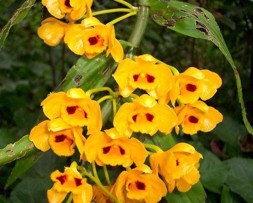 Dendrobium gibsonii wwworchidspeciescomorphotdirdengibsoniijpg