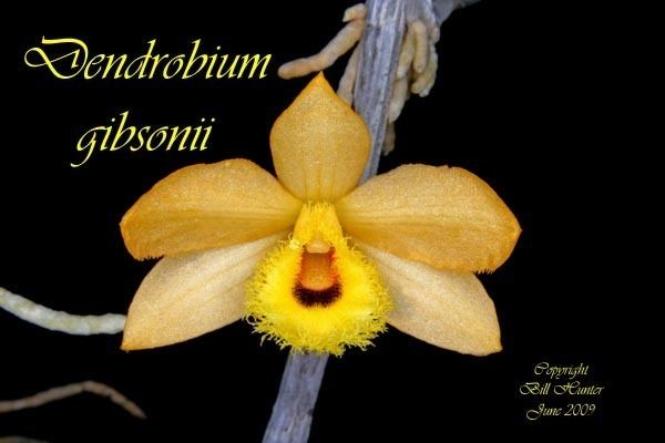 Dendrobium gibsonii Species Specific Forum Growing Orchids and Hybrids View topic