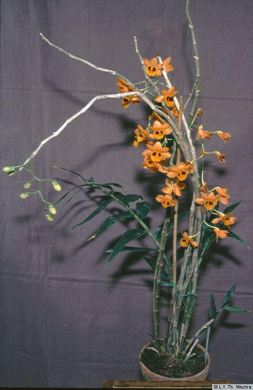 Dendrobium gibsonii Dendrobium gibsonii Paxton