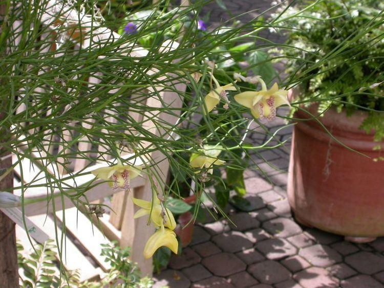 Dendrobium junceum IOSPE PHOTOS