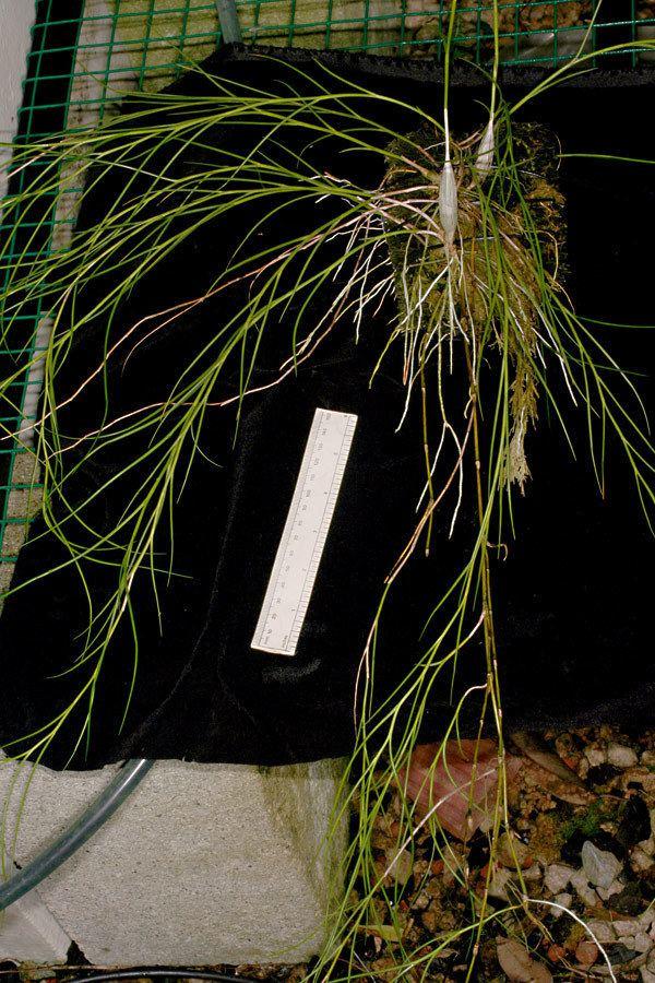 Dendrobium junceum Advanced Search