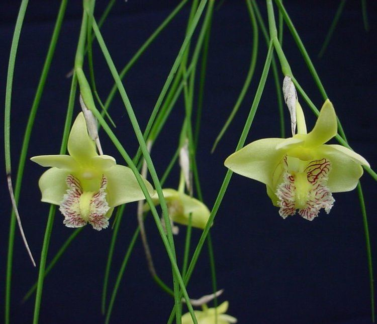 Dendrobium junceum Dendrobium junceum Orchids Pinterest Orchids