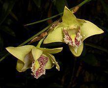 Dendrobium junceum httpsuploadwikimediaorgwikipediacommonsthu