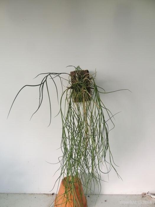 Dendrobium junceum Dendrobium junceum wwwbuscalorchideescom