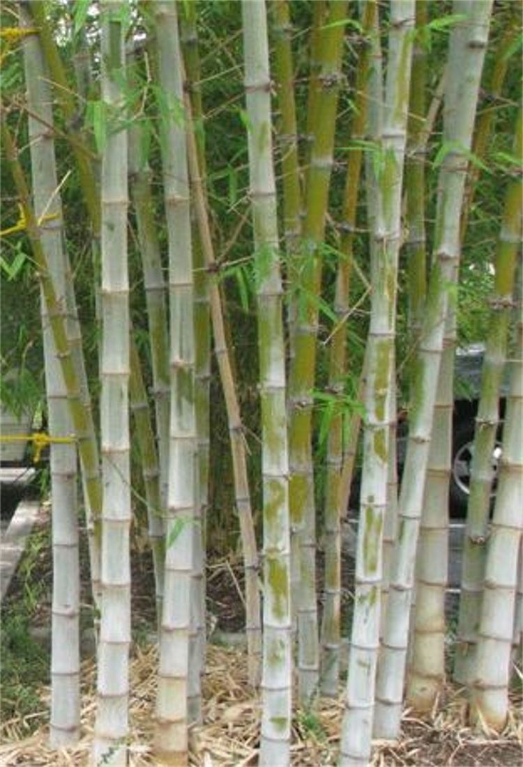 Dendrocalamus hamiltonii Dendrocalamus Hamiltonii 10 Seeds Tama or Tufted Bamboo