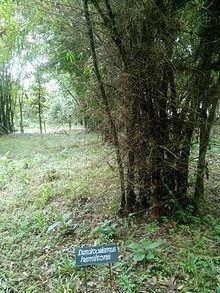 Dendrocalamus hamiltonii httpsuploadwikimediaorgwikipediacommonsthu