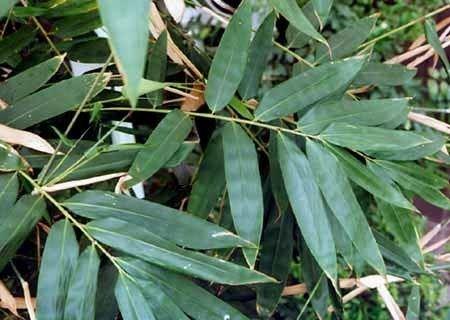 Dendrocalamus hamiltonii BambooWeb Dendrocalamus hamiltonii photos and Information pg5