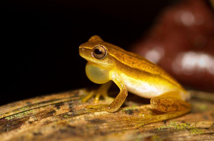 Dendropsophus Dendropsophus Wikiwand
