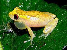 Dendropsophus httpsuploadwikimediaorgwikipediacommonsthu