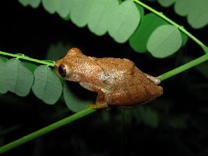 Dendropsophus BOLD Systems Taxonomy Browser Dendropsophus genus