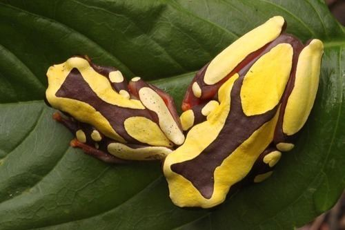 Dendropsophus Genus Dendropsophus iNaturalistorg