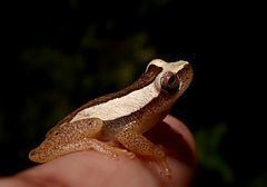 Dendropsophus haddadi httpsuploadwikimediaorgwikipediacommonsthu
