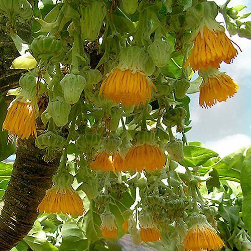 Dendroseris litoralis DENDROSERIS LITORALIS SEEDS Juan Fernndez Cabbage Tree
