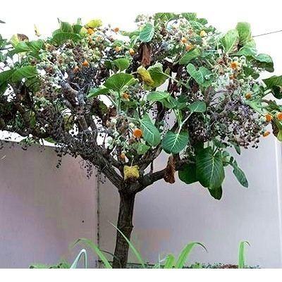 Dendroseris litoralis Dendroseris litoralis Cabbage Tree
