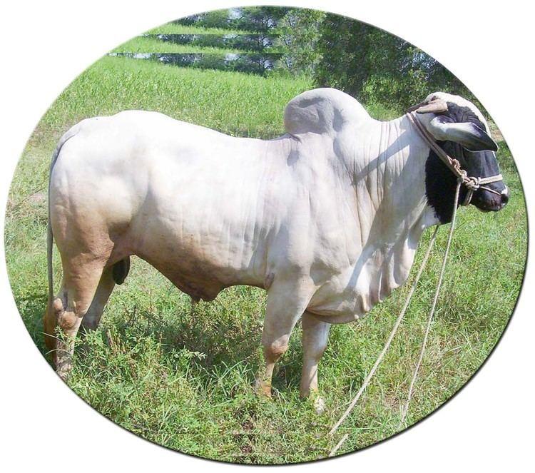 Deoni cattle wwwkvafsukarnicinimagesdeoninewrndjpg