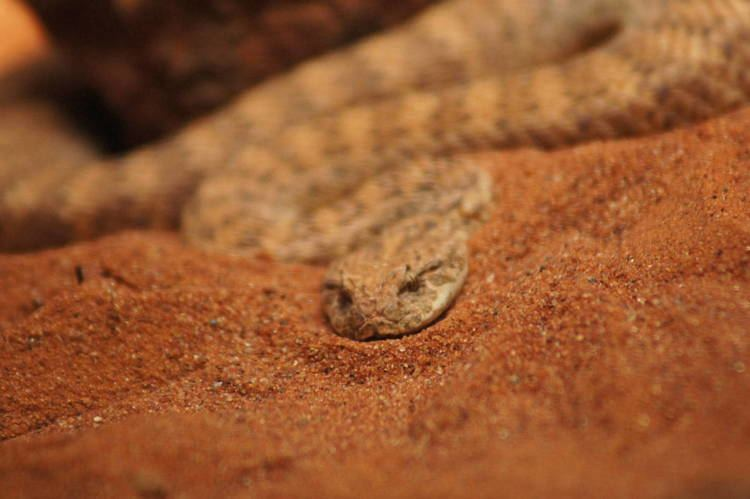 Resultado de imagem para desert death adder snake