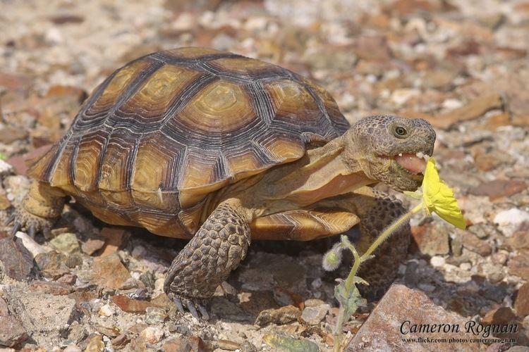 Desert tortoise - Alchetron, The Free Social Encyclopedia