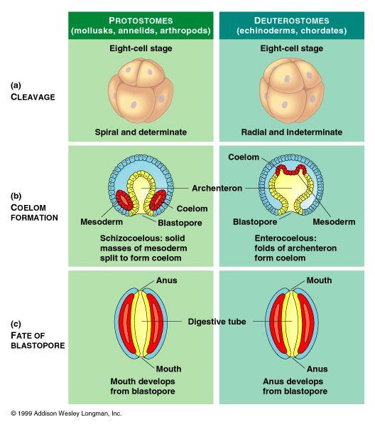 Deuterostome Protostomes versus Deuterostomes