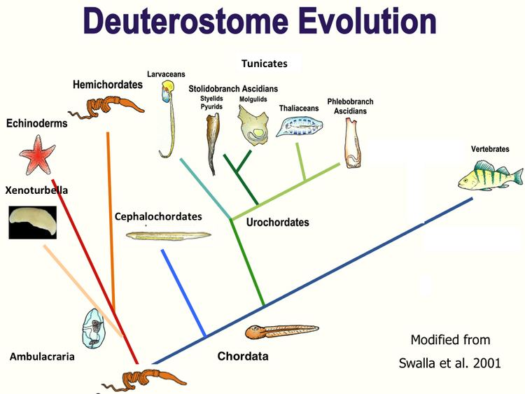 Deuterostome BEACON Researchers at Work The Evolution of Regeneration in the