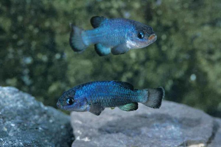 Devils Hole pupfish Devil39s Hole pupfish might be reincarnated even if it died out New