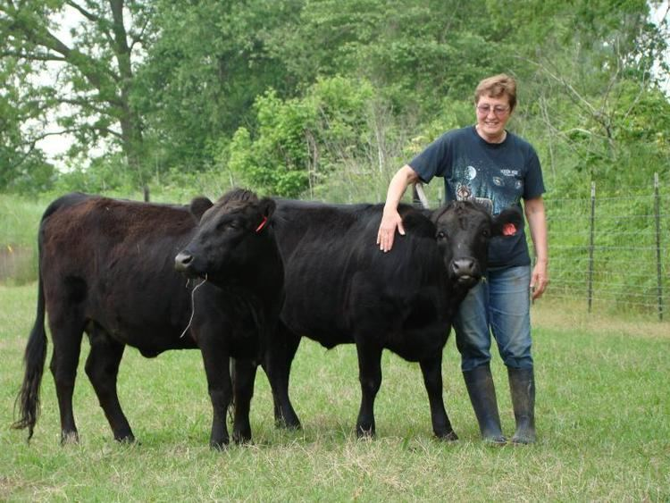 Dexter Cattle