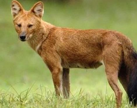 Dhole Dhole Cuon Alpinus Animals AZ Animals