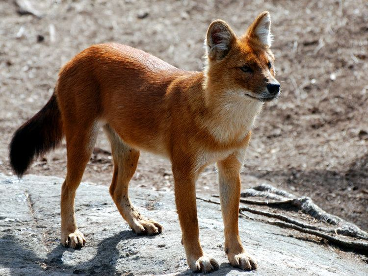 Dhole Dhole Dogs we need to know