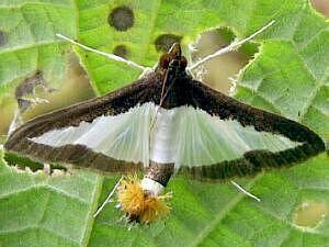 Diaphania mothphotographersgroupmsstateeduFiles1LiveBP