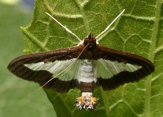 Diaphania Diaphania indica