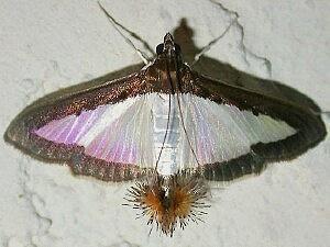 Diaphania Moth Photographers Group Diaphania hyalinata 5204