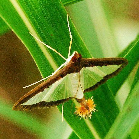 Diaphania Maybe a Melonworm moth Diaphania hyalinata Diaphania hyalinata