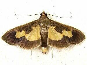 Diaphania Moth Photographers Group Diaphania nitidalis 5202